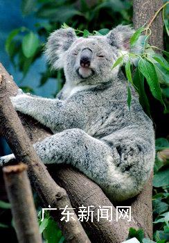"""广州的香江野生动物园是中国内地唯一的""""考拉""""之"""