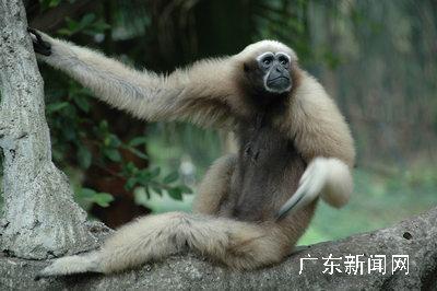 """深圳野生动物园的长臂猿享受""""节日""""休闲"""