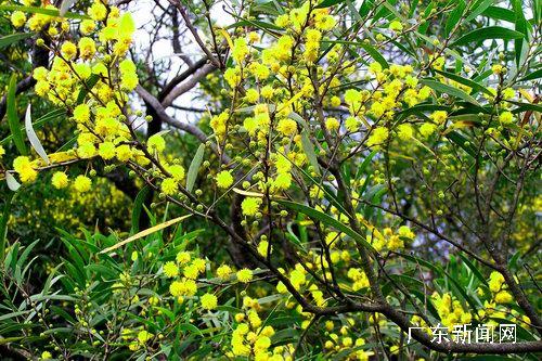 在黄花山海岛国家森林公园和环岛公路等相思树较为集中的区域,相思树