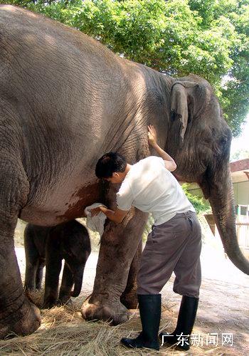 深圳野生动物园目前已有四头小象