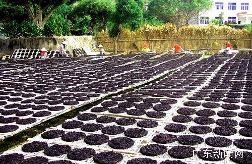 日前,在汕头南澳岛紫菜主产区云澳镇各紫菜养殖场,数十名来自福建的