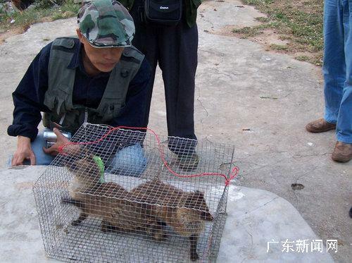 动物小灵猫新物种