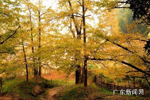银杏树又叫白果树,也叫公孙树,落叶乔木,雌雄异株,叶片扇形,春芽碧绿