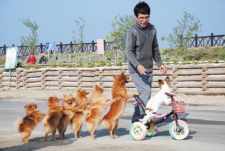 狗狗食品_世界最大斗牛犬视频走红点击量破百万体重79