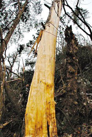 森林里,有超过10万株野生红豆杉在此茂盛生长,其中千年以上的古树有过
