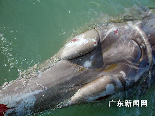 粤东南澳岛成功营救国家二级保护动物喙鲸(图)