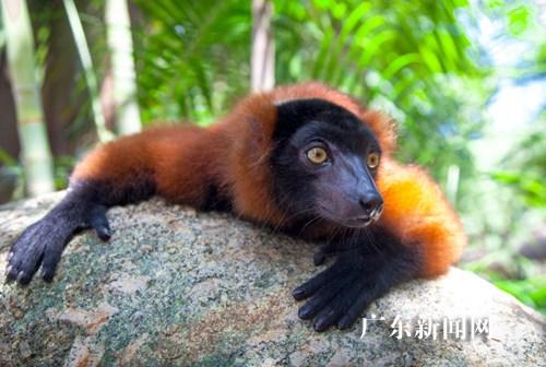 """香江""""马达加斯加岛""""五种珍稀狐猴亮相(组图)"""