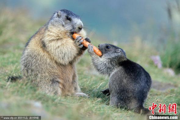 土拨鼠母子分享美味胡萝卜