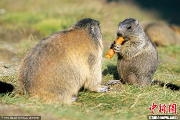 土拨鼠分享美味胡萝卜