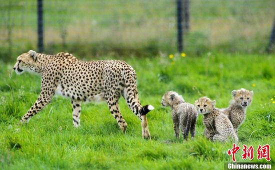 英动物园诞七只非洲猎豹