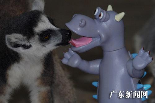 """深圳野生动物园节尾狐猴爱上""""恐龙"""""""