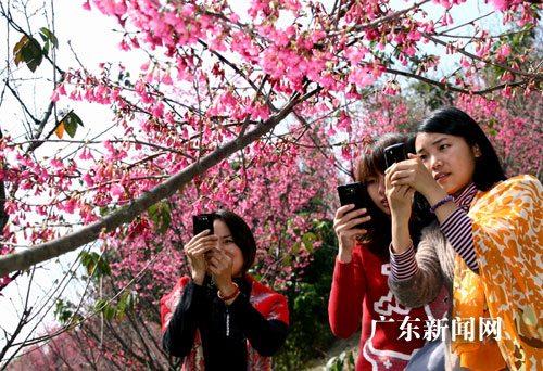 广州南沙樱花早往年一周盛放(图)