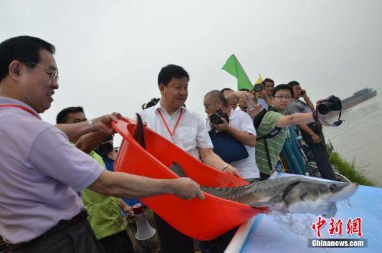 图为肇庆市长郭锋(左一)与广州市长陈建华(左二)一起将中华鲟放入西江河。中新社发 黄耀辉 摄