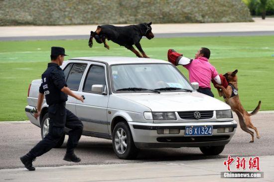图为警犬反恐技能演习。中新社发 广东公安厅 供图