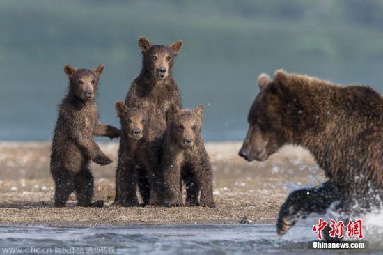 当地时间2015年1月28日报道,俄罗斯千岛湖,53岁的摄影师Sergey Ivanov拍摄到四头熊宝宝在岸边观看爸爸奋力捕鱼的场景,样子非常有爱。图片来源:东方IC 版权作品 请勿转载