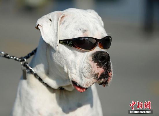 """中新网1月15日电 据外媒报道,由于眼睛对光线敏感,4岁的拳师犬""""Second Chance""""平时出门都得戴着墨镜。图为2015年1月13日,""""Second Chance""""和主人在美国加州海滩散步。"""