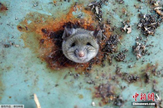"""当地时间10月18日,纽约布鲁克林,一只贪吃的小老鼠被卡在垃圾筒底部,进出不得,眼神哀怨。似乎它很想自己走出这个困局,但无奈用力过猛,脑袋还是卡在垃圾桶底部的孔里,工作人员用润滑剂帮助它脱离""""进退两难""""的局面。"""