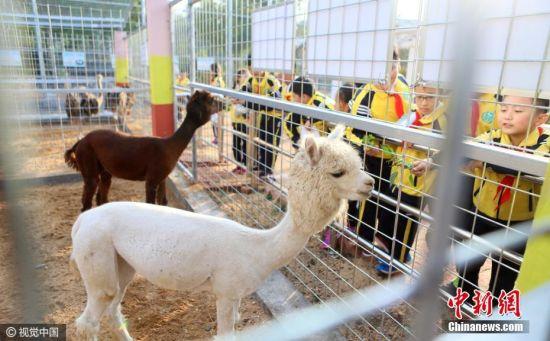 """别人家的学校之动物园   在学校里上""""可游览版""""历史课如果已经不算稀奇,那在学校里上""""可喂食版""""生物课总算得上了吧。这所别人家的学校建了2000余平方米的""""校园动物园"""", 引进羊驼、孔雀、矮脚马、鸵鸟、火鸡等30余种小动物。在这里上课,同学们最大的困难在于不要让羊驼吃掉自己的作业,反正老师已经听腻这个理由了。 梁孝鹏 摄 图片来源:视觉中国"""
