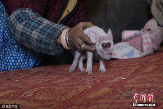 """2016年12月6日,贵州织金,据了解,少普镇菜林村一户林姓村民家的母猪产下一窝15只猪仔,但只有8只存活下来。仔细观察发现,这只长相怪异的小猪鼻子长长的,向上一直翻卷到眼睛的下部,鼻子中间有两个小孔,还可以活动,嘴巴是 """"地包天"""",长长的舌头露在外面,眼睛向外凸出,看上去像猴子的眼睛,一支大一支小。图片来源:视觉中国"""