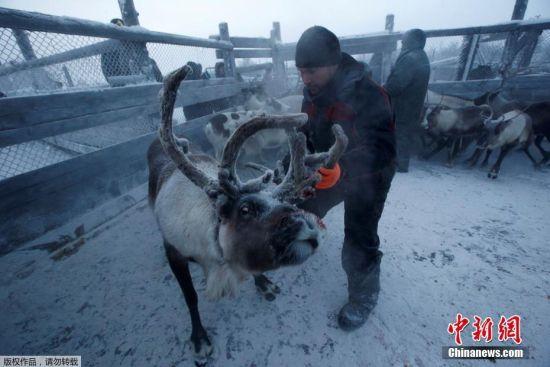 每年冬天,俄罗斯的涅涅茨自治区的驯鹿人都要把驯鹿圈养在露天围栏里,以便挑拣出老弱病残的驯鹿。