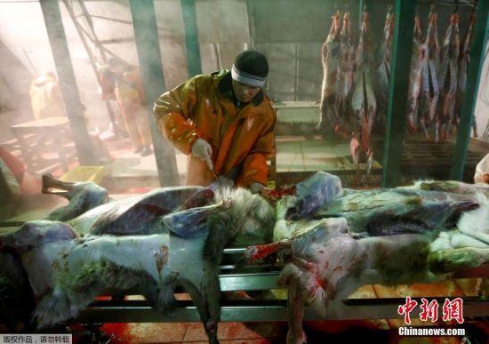 11月29日,屠宰场的工人把驯鹿的皮毛进行剥离。