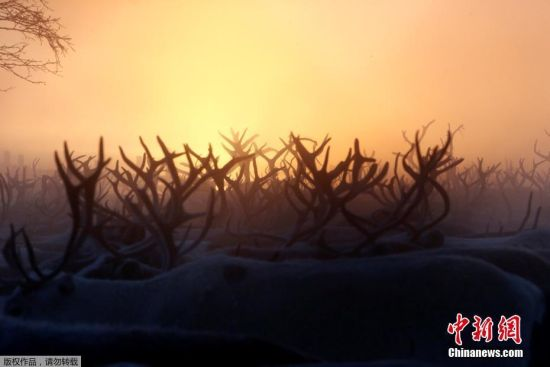 """""""每年要挑拣出的病弱驯鹿数量都不一样,今年我们打算挑出3000只。""""伊格说。"""