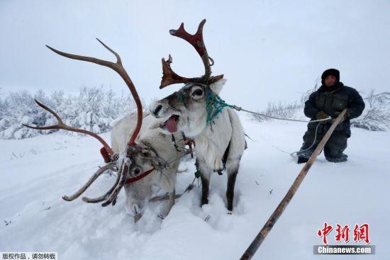 """""""我们会等到雪下得足够大时再进行挑选,这样驯鹿在露天牧场上放牧时才不会踩坏苔原地表。"""""""