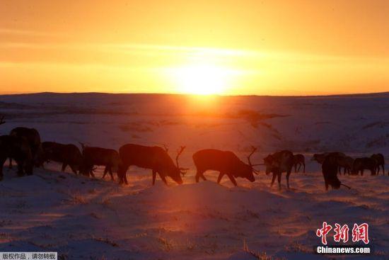 11月26日,夕阳下的驯鹿群。