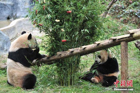 """12月22日,圣诞节即将来临,云南野生动物园的工作人员用竹子和苹果搭成圣诞树,为动物园里两只大熊猫毛竹和珍多送上""""圣诞礼物""""。 中新社记者 刘冉阳 摄"""