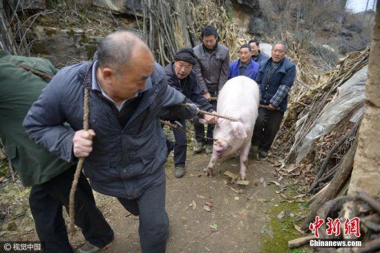 """一头大年猪,累坏了七八个大汉。杀年猪在高寒山区的保康农家习俗中是件大事,保康农家每年""""进九""""后,几乎都要杀年猪,选杀猪的日子是有讲究的,选好的杀猪日被视为""""肥日"""",选择""""肥日""""杀猪预示着来年主人家喂的猪又大又肥。主人家还会提前置办烟、酒、茶等物品,以备招待客人。杀罢后主人家还要摆上几桌,宴请邻里亲朋,乐到天不黑不散,甚至比过年还热闹。 图片来源:视觉中国"""