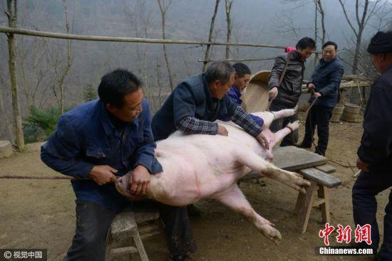 """这头500多斤的猪,7旬老汉王述顺在山村养了近两年,平时都用自家种的玉米和山上的构树叶(当地俗称猪草)喂养。面对纯粮养的猪,许多城里人都想出高价买一块,但都被王老汉拒绝。王述顺表示:""""这猪宰杀了,决不会卖,会留一部分过年招待客人,其余的都会送给儿子、孙子吃。自己养的猪,自己放心。"""" 图片来源:视觉中国"""