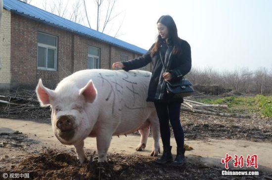 """2017年1月8日,郑州黄河滩地,一头体长2.1米,体重1500斤的大肥猪被一名胆大的女子当做""""小牛""""骑了起来。托着人的大肥猪,不但走动灵活自如,且不忘记在路边悠闲的寻找着食物。当日,一场由黄河滩养殖协会举办的""""猪王争霸赛""""在黄河滩头多家养殖基地中进行角逐,最终这头1500斤重,体长2.1米,高1.05米的白毛大猪在PK掉几十头大肥猪后,夺得争霸赛""""猪王""""称号。图片来源:视觉中国"""