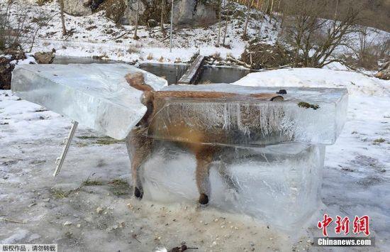 """当地时间2017年1月13日,德国多瑙河畔弗里丁根,一只狐狸在过河时冰面破裂掉进河里,当河面又重新冻上,狐狸已经被冻成了""""冰雕""""。随后有猎人意外发现了这一个神奇的景象,并把它从河里切割了出来。"""