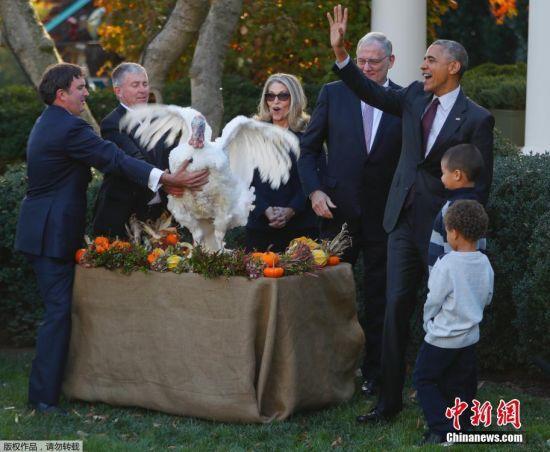 """最幸运的鸡 2016年11月23日,美国华盛顿,感恩节将至,美国总统奥巴马在白宫举行仪式,赦免本年度国家感恩节火鸡""""亚伯""""(Abe)。按照传统,虽然奥巴马只需赦免一只火鸡,但为避免火鸡出现突发状况无法履行职责,白宫会准备一只""""替补""""火鸡。"""