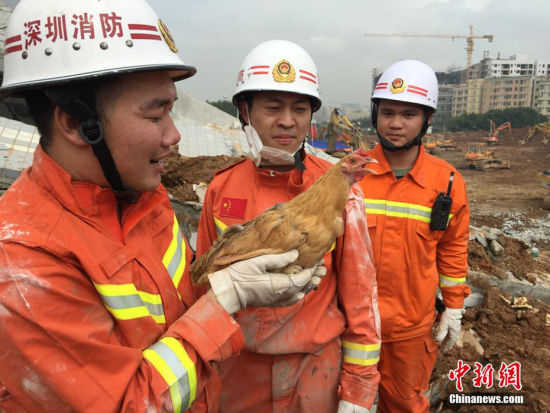 最最幸运的鸡 如果说前面那只鸡是最幸运的鸡,那么这只鸡或许该不高兴了,因为它可是被从6米的建筑废墟下救出来的。救援队杨队长介绍:早上六点在此处搜救破拆,期间监测到水泥下方有活物移动,便立即搜救,没想到救出来的是一只鸡。杨队长表示,这只鸡以后要在队里养着,因为它代表着希望。2015年12月20日,深圳市光明区发生山体滑坡。 图片来源:视觉中国