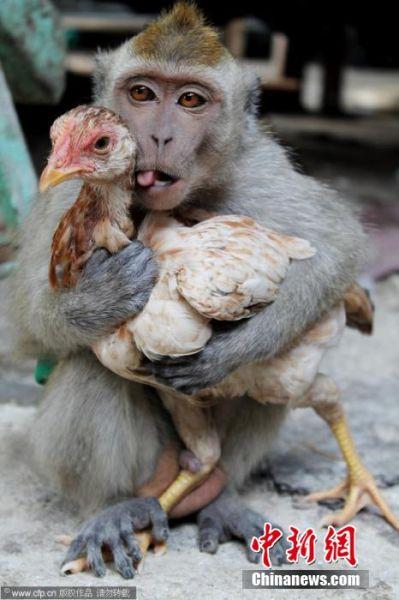 最暧昧的鸡 瞧瞧这俩小伙伴,真是完美地诠释了形影不离这个词。不过,小编总感觉这只鸡的眼神有些生无可恋……图片来源:视觉中国