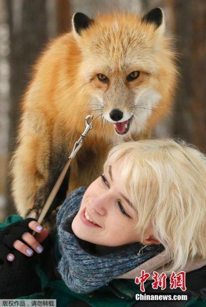 2月8日,俄罗斯克拉斯诺亚尔斯克Royev Ruchey动物园,一位动物园员工正在训练11个月大的红狐狸。这是该动物园驯养野生动物计划的一部分。