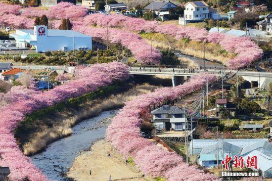 当地时间2017年2月15日,日本河津町,路边早樱盛开,形成浪漫粉色花道,吸引众多游人前来观赏。图片来源:视觉中国