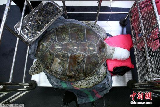当地时间2017年3月6日,泰国曼谷,泰国朱拉隆功大学为海龟Omsin手术取出硬币。据悉,一只痛苦的海龟误吞了废弃池塘中许愿硬币,结果导致严重健康问题。