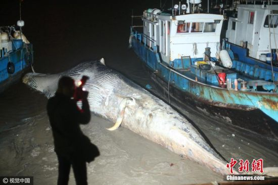记者了解到,3月20日13时许,渔民出海作业时,在长江口与杭州湾交汇的海面发现一头鲸鱼已经死亡。目前具体原因待查。据悉,事发时,渔民正在海上作业,发现鲸鱼后便前去查看。在确认是鲸鱼死亡后,立即报警。上海边防派出所民警得知情况后,要求渔民将鲸鱼拖回渔船码头。(文字来源:新民网)张瑞麒 摄 图片来源:视觉中国
