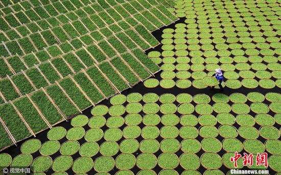 卢范经作品《晒茶》获得2017索尼世界摄影大赛中国国家专项奖三等奖。图片来源:CFP视觉中国