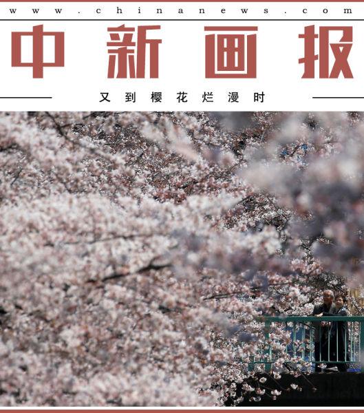 最是人间四月天,又到樱花烂漫时。春光明媚的日子,约上三五好友,寻芳踏青赏樱花,别有一番诗意在心头。