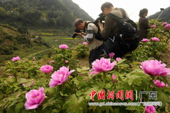 太平牡丹园每年吸引了众多各地摄影发烧友前往采风。