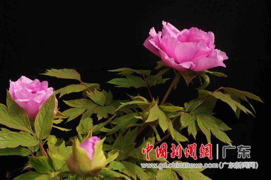 太平牡丹有太平红、凤山白、凤丹粉、紫斑白、凤丹、大通墨玉等品种。