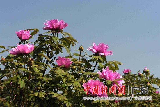 太平镇种牡丹,源远流长,已有2000多年的种植历史。