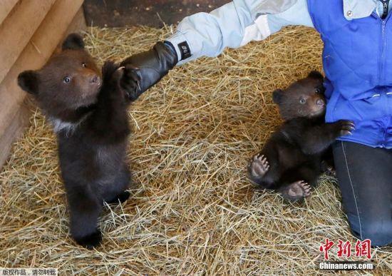 """俄罗斯孤儿熊宝宝与人类""""牵手"""" 萌化人心"""
