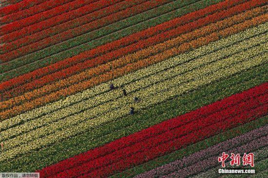 当地时间2017年4月19日,荷兰利瑟,航拍荷兰利瑟郁金香花海,郁金香花田就像天然的画板,七色被用心堆砌,浓烈而又明艳。