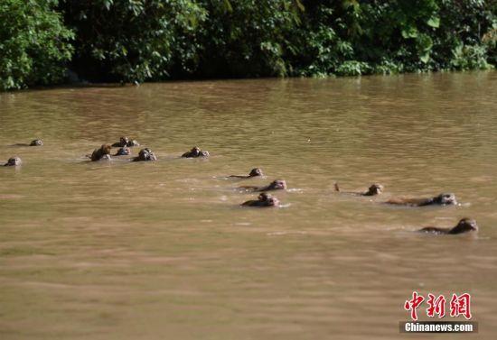"""5月4日,重庆统景百余只野生猕猴在5旬男子的一声令下一一跳入河中,游泳渡河上岸玩耍。据了解,照顾这一百多只猴子的是50多岁的杨永六师傅,七八年前他从临退休的王寿昭手中学到了饲养猴群的手艺,便来到该地饲养这些野生猕猴。而""""统景峡猿""""自清朝乾隆年间就因入选""""巴渝十二景""""而声名鹊起,最近又有游客发现这里的猴子可以轻松畅游温河。猴妈妈们将猴儿背着抱着跳进河里,游泳到对岸玩耍让前来游玩的市民大饱眼福,因此又有了""""百猴渡河""""奇观。 周毅 摄"""
