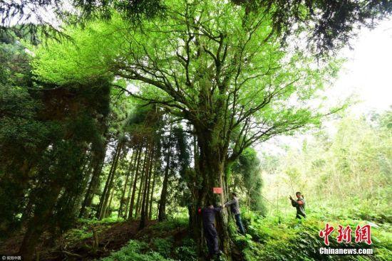 """2017年5月5日,林业工作人员在位于湖南郴州市苏仙区的五盖山林场发现十分罕见的雌、雄两株古银杏。古银杏位于海拔1260米的高山次原始森林中,树龄均超过1100年,虽树干空心但枝繁叶茂,生态长势良好,具有较高的观赏价值。其中雌性树胸茎1.4米、高22.5米;雄性树胸茎1.35米、高约30米,""""夫妻银杏""""相距70米。贺茂峰 摄 图片来源:视觉中国"""