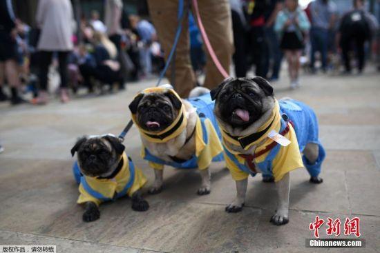 当地时间2017年7月16日,英国索尔福德,当地的爱狗人士为八哥犬组织了一个专属节日,在展览上,各式各样的八哥犬身着盛装,萌态可掬。
